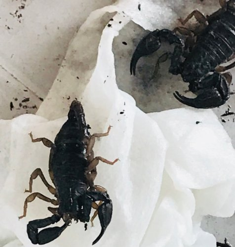 Scorpions Brought to Keizer Fire Station