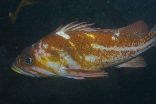 Copper Rockfish Photo <a href='https://www.facebook.com/fishindexwebsite'>Facebook: Fish Index</a>